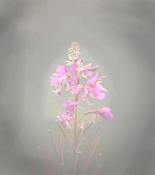 Rosebay Willow Herb. by myrab