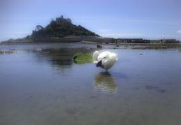 St Michaels Swan