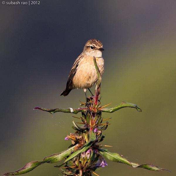 Common Stonechat (Female) by subashcr