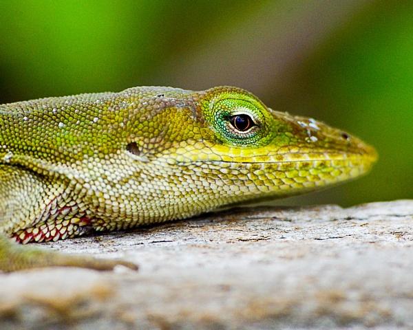 Florida lizard by wsteffey