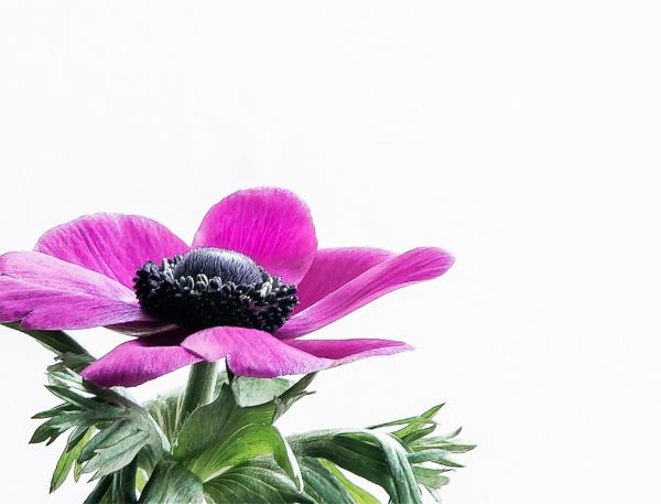 anemone by dwarf
