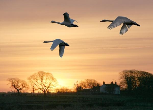 Swan Flight Sunrise by aliciabeesley