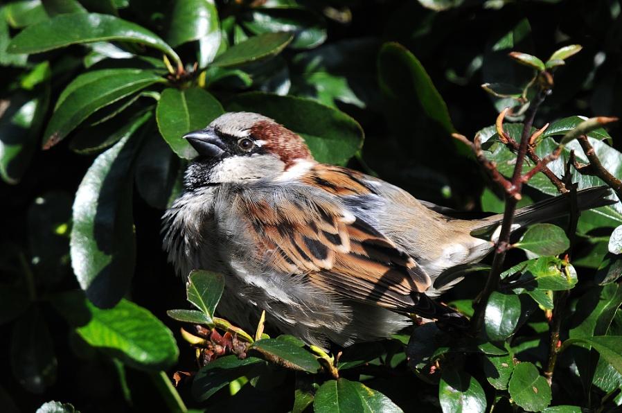 House Sparrow (m)