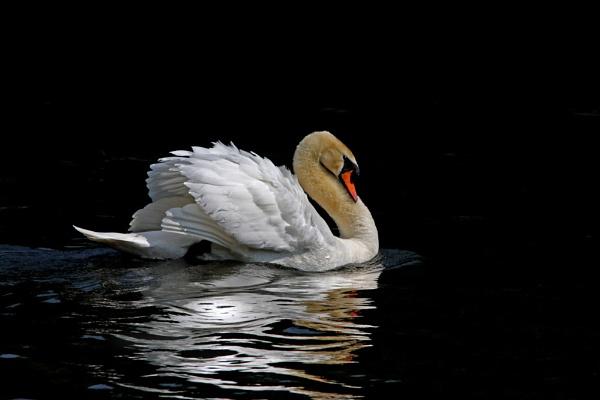 Mute Swan by nikon