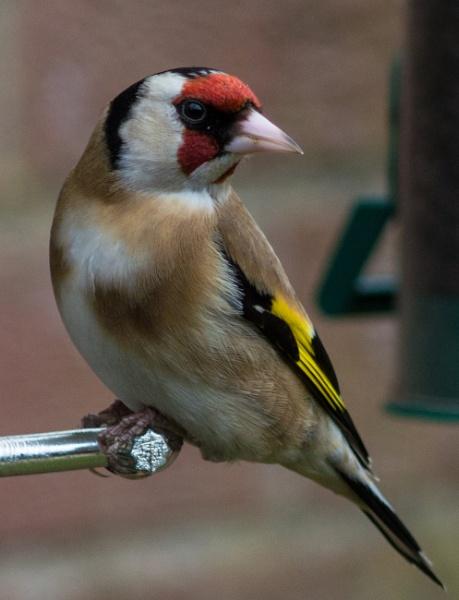 Goldfinch by woodlandlad
