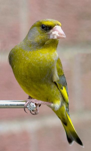 Green Finch by woodlandlad