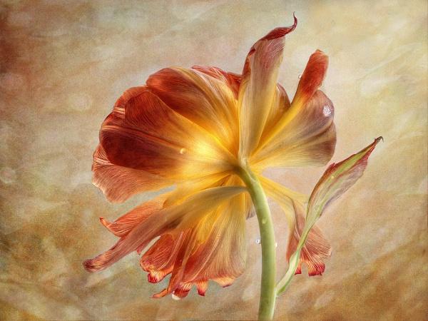 Fading Beauty by dormay
