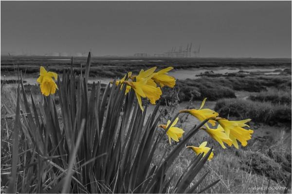 Ten Daffodils