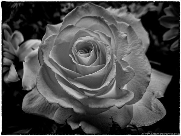 April Rose by P_Morgan