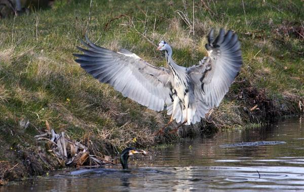 Heron by tjdup