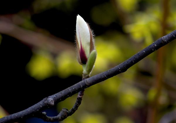 Magnolia by Newdawei
