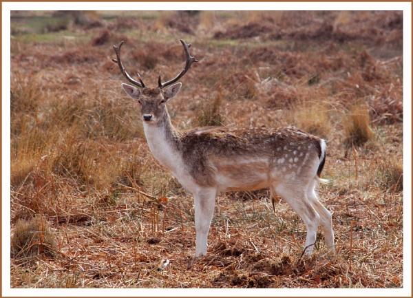 Richmond Park Deer by stephens55