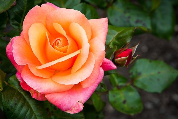 Flower 1 by david1810