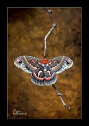 Robin Moth