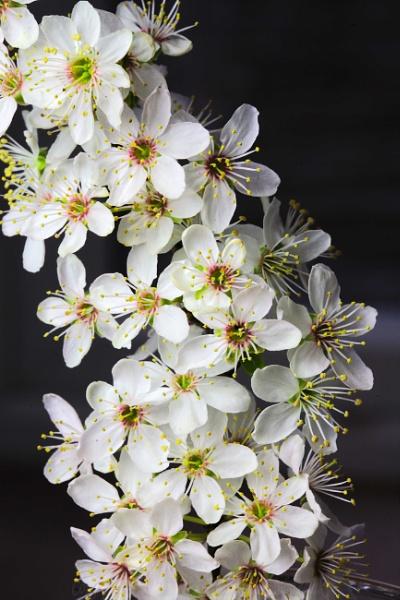 Cherry Blossom by pdjbarber