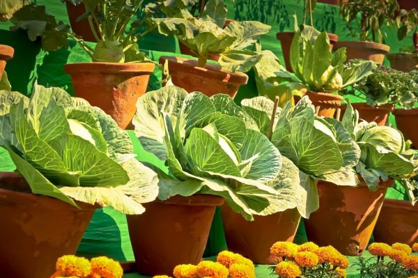 Bonsai cabbages .. by prabirsenuk