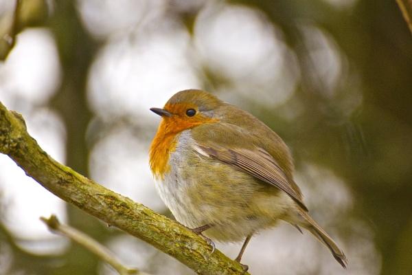 Robin by steviemanse