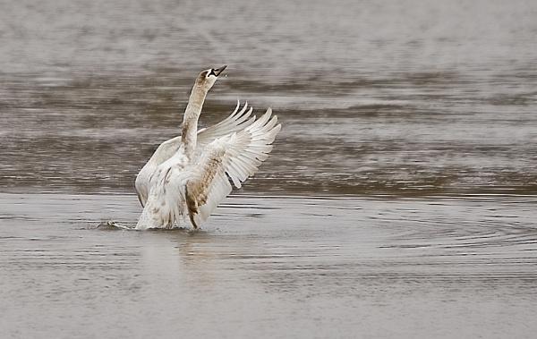 Swan Lake by Fogey