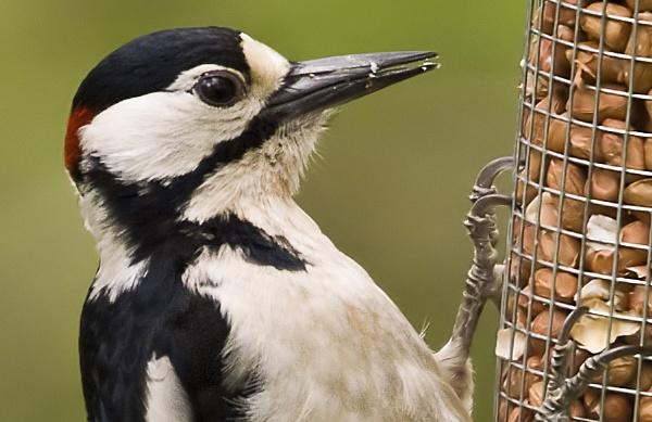 Woodpecker Detail by Fogey