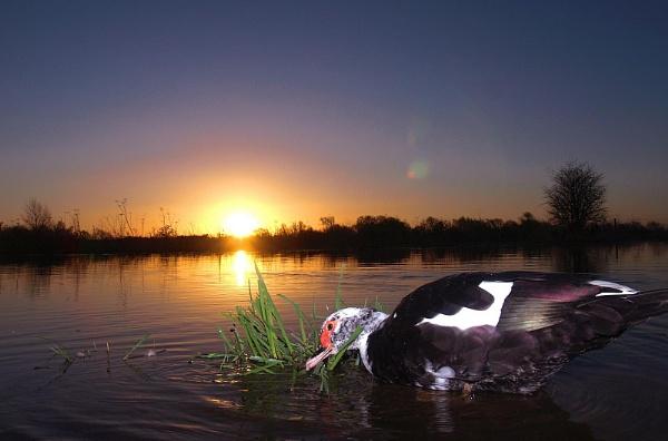 Ducks at sunrise by turniptowers