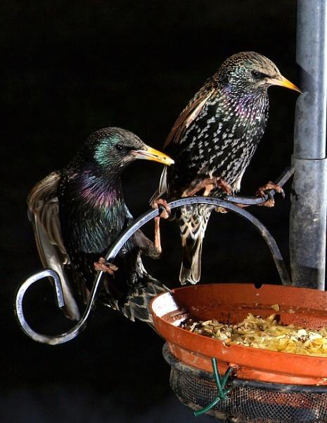 Starlings by turniptowers