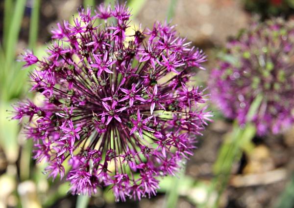 Allium by FlawedDesign