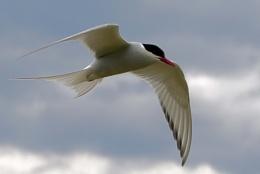 Arctic Tern 2