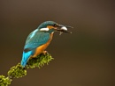 Juvenille Male Kingfisher by terry_cavner