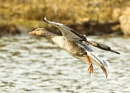 Greylag Goose in Flight by terry_cavner
