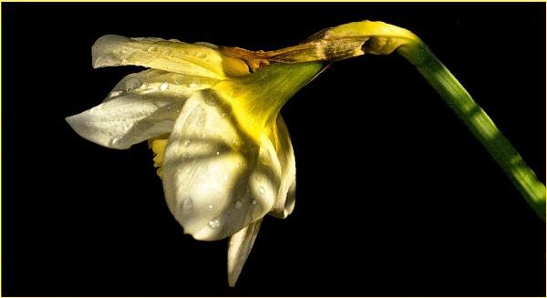 *Awakening Daffodils* by Rock