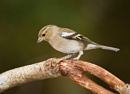 Female Chaffinch by Paintman