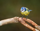 Blue Tit by Paintman