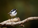 Coal Tit by Paintman