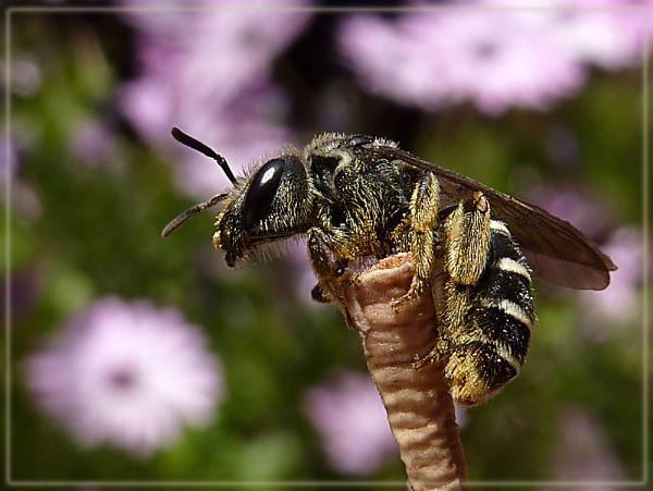 little bee by CarolG