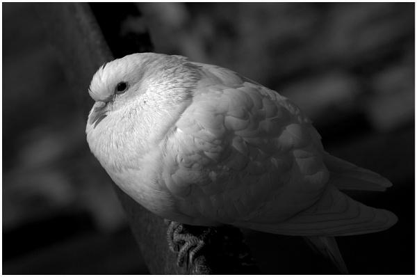 White Dove by cornish_chris