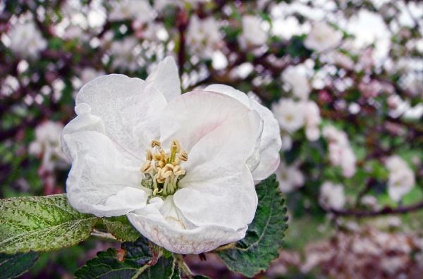 Blossom by Wallybazoom