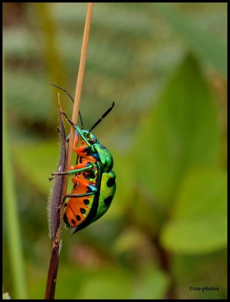 Jewel Beetle (Scutelleridae) by rajasekar