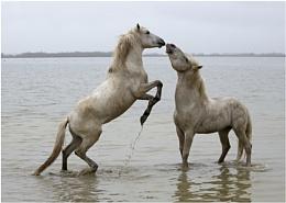 Stallions Peck!