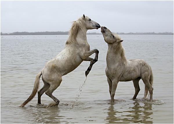 Stallions Peck! by Lillian