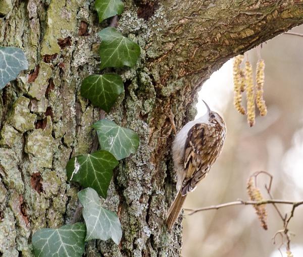 Treecreeper by digicammad