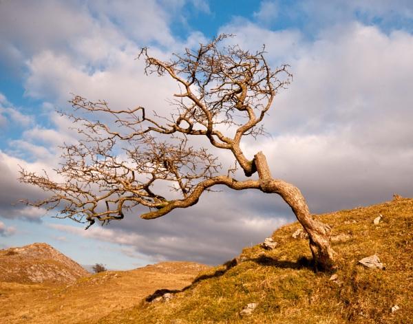 Hawthorn Tree by jacks59