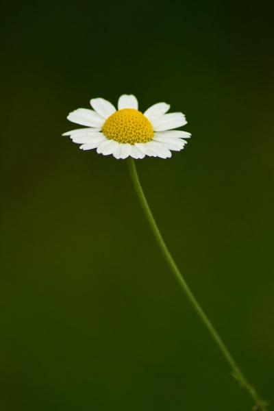 A single flower. by RazvanD