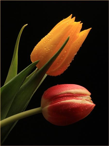 Tulips by arthur
