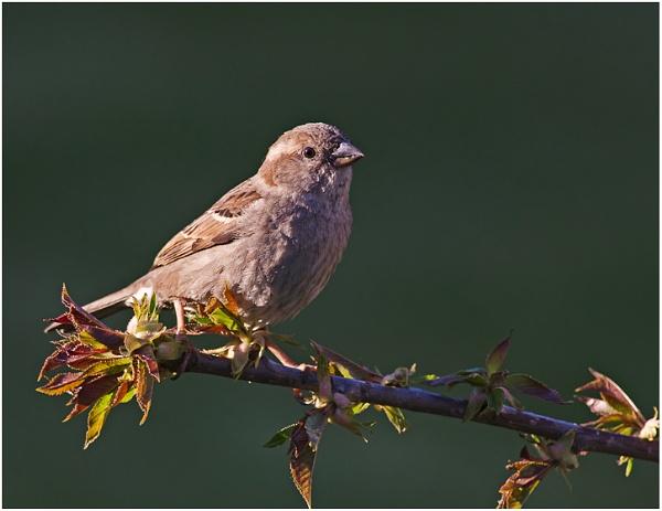 Housesparrow by Maccas