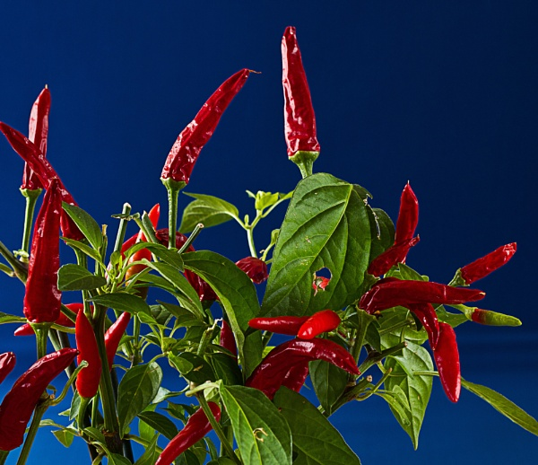 Hot Peppers by sdixon2380