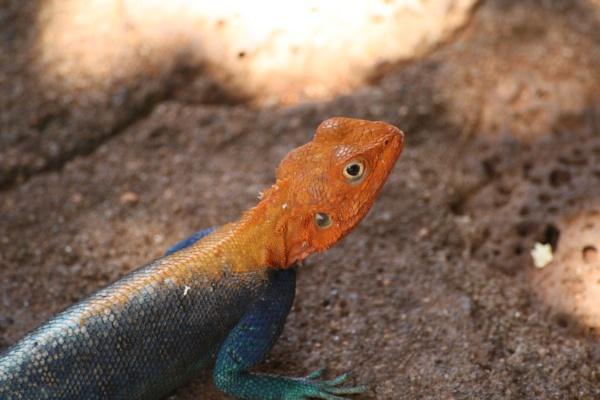 Rainbow lizard by tamasalucy