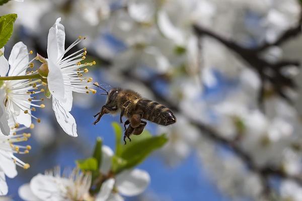 Flight of the Honey Bee by llareggub