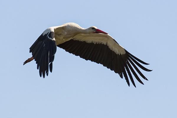 Stork in Flight by llareggub