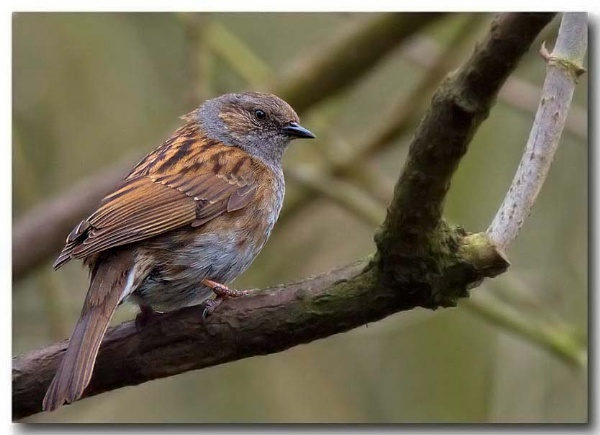 Sparrow or Dunnock by tommyld