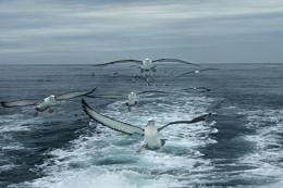 Albatross Squadron